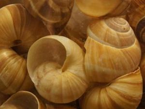 Picture of Snail Shells - Coquilles