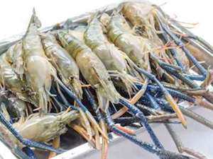 Picture of Giant Freshwater Prawns
